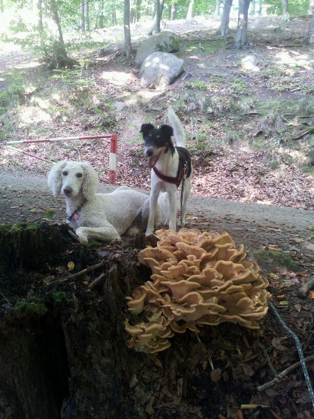Sirus & Lucky  Bleib-Übungen unter Ablenkung 